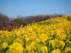 二宮 吾妻山公園菜の花.5