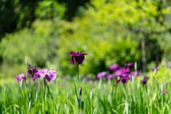 東慶寺 紫