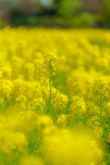 菜の花(DSC084089