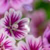 港の見える丘公園の花たち(DSC00326)