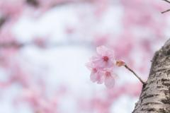 ちょびっと桜
