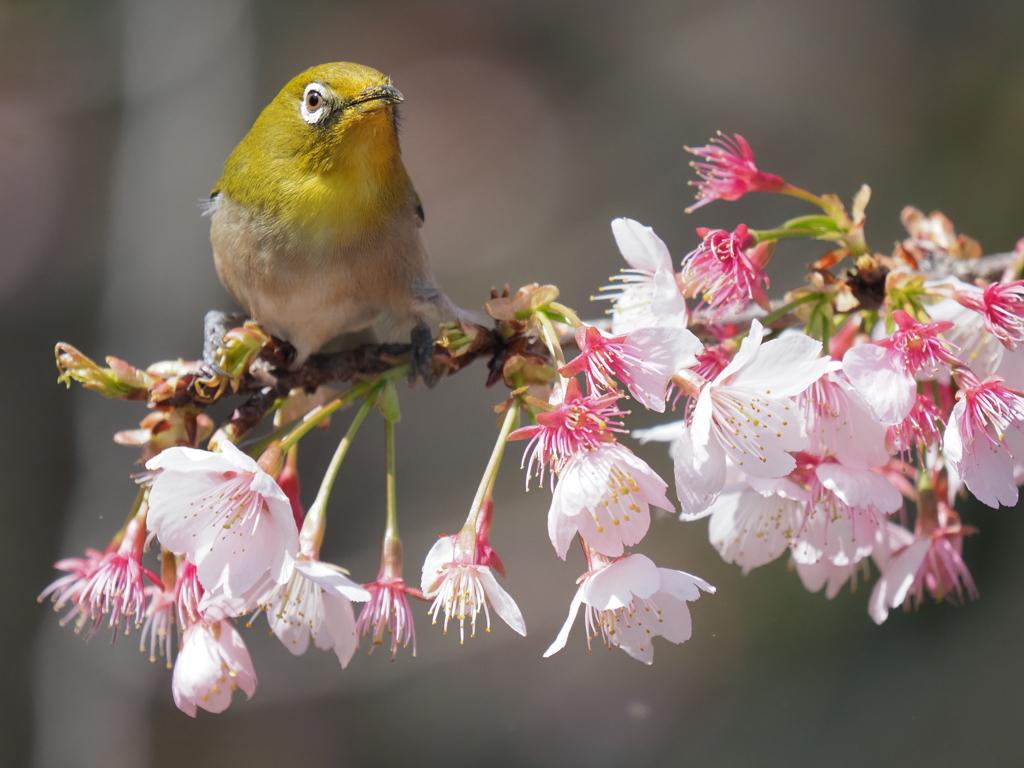 春 オオカンサクラ
