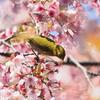 桜でご飯②