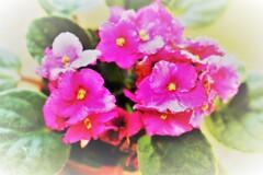 テーブル紫陽花