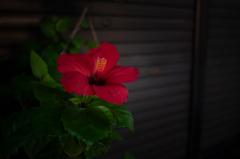 Hibiscus X2