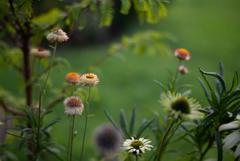 SUMMILUX FLOWER