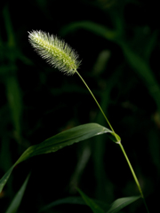 エノコロ草一茎