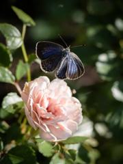 薔薇と小灰蝶