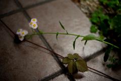 倒れた春紫苑
