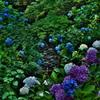 小川 紫陽花