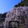 魚ヶ渕吊り橋の桜2