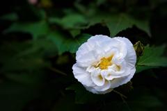 白い花は何を語る。。。