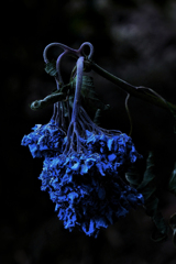 withered blue hydrangea