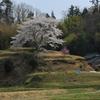 成合の一本桜