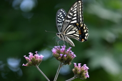 花と蝶MCCLVII!