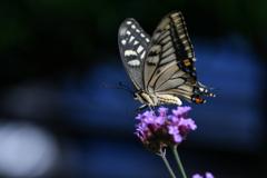 花と蝶CMXLVI!