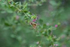 花と蝶MDCCXLV!