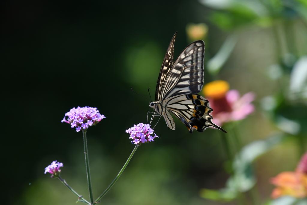 花と蝶MDXLVII!