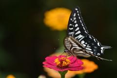 花と蝶MMCCXXXVIII!
