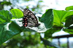 里山の蝶CLXXXVIII!
