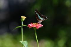 花と蝶MDCCLI!