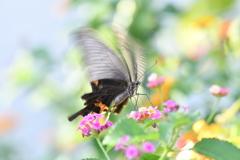 花と蝶MDCXCIX!
