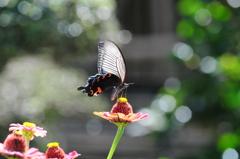 花と蝶 MDCLXXXIII!