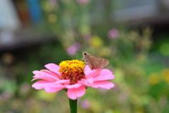 花と蝶MCCCXCVII!