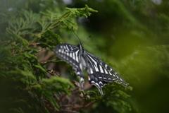 里山の蝶CCLXVI!