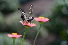 花と蝶MDCXIV!