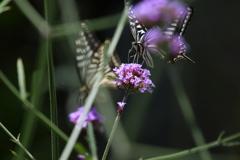 花と蝶MCCXLIII!