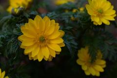 季節の花DXC!