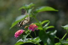 花と蝶MDCCLXXVI!