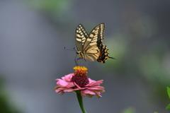 花と蝶MDCCXLVII!