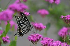 花と蝶DLXXXIX!