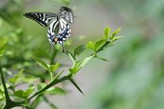 里山の蝶CCXVI!