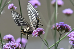 花と蝶MCCXXXIV!