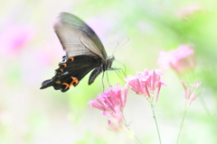 花と蝶MDCCCLXII!