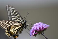 花と蝶DXC!