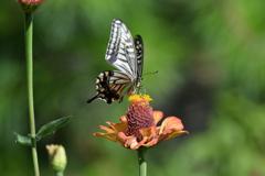 花と蝶MDCVIII!