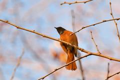 里山の野鳥XC!