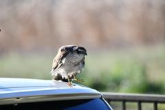 里山の野鳥LXIX!