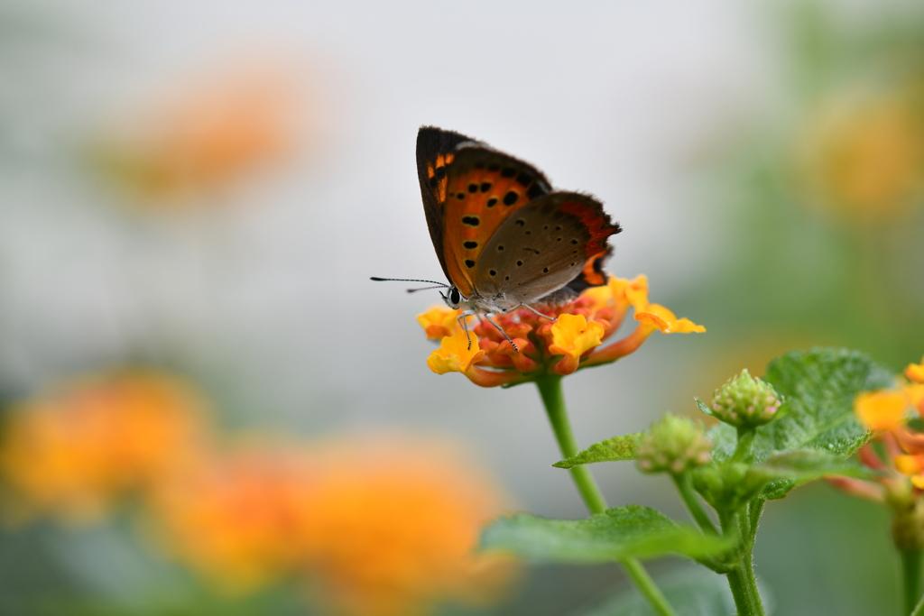 花と蝶MDXXIX!