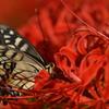 花と蝶CMLVIII!