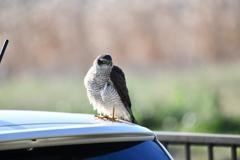 里山の野鳥LXVIII!