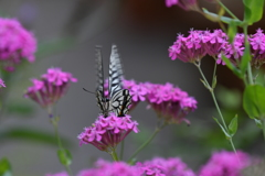 花と蝶DLXXXVIII!