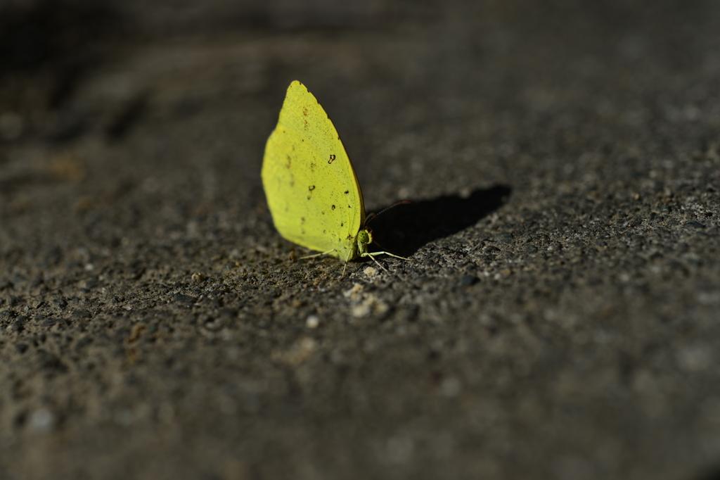 里山の蝶CCLII!