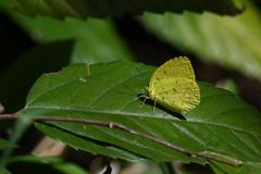 里山の蝶CXLI!