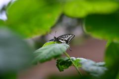 里山の蝶CCLXVII!