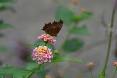 花と蝶MDCCXXIX!